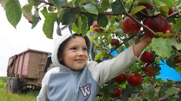 Урожай яблок собирают в Могилевском районе
