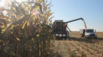 В Могилевском районе убирают кукурузу