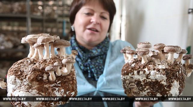 """""""Домановичи"""" ежегодно выращивают 56 т грибов шиитаке"""