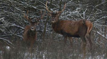 Стадо благородных оленей зимует в Гродненском районе