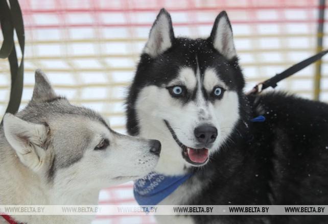 Гонки на собачьих упряжках прошли в Логойском районе