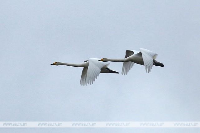 В Беларусь возвращаются перелетные птицы