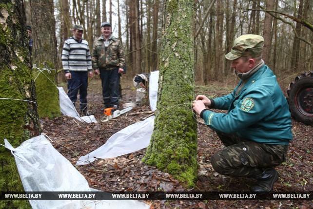 Около 2 тыс. т березового сока планируют заготовить лесхозы Гродненской области