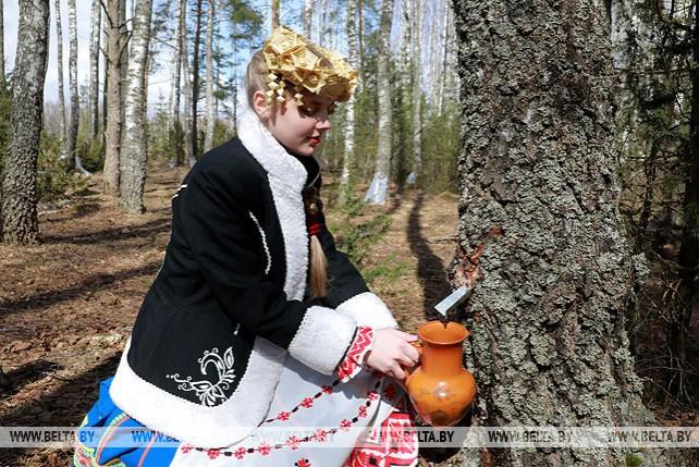 Заготовка сока проходит в Чаусском лесхозе