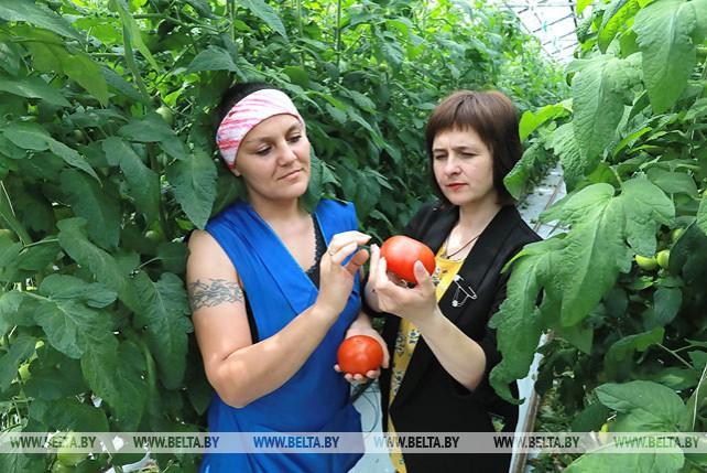 """Почти 850 т помидоров и огурцов вырастили в теплицах СПК """"Рассвет"""" им. Орловского"""