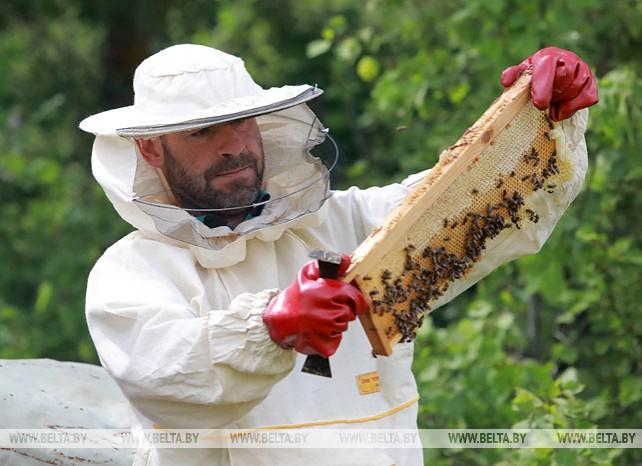 В Чаусском лесхозе заготавливают мед