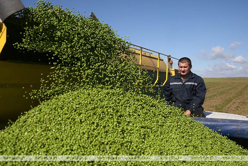 Уборка зеленого горошка идет в Гродненском районе