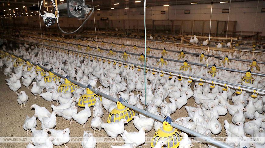 На Витебской бройлерной птицефабрике открылся цех племенного молодняка