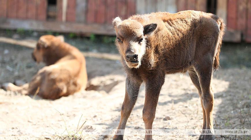 Двойня зубрят родилась в Минском зоопарке