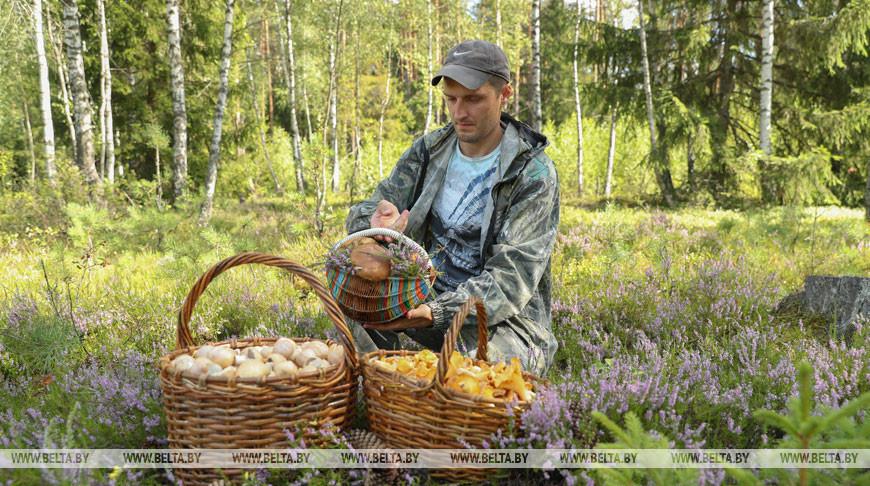 В белорусских лесах грибной сезон