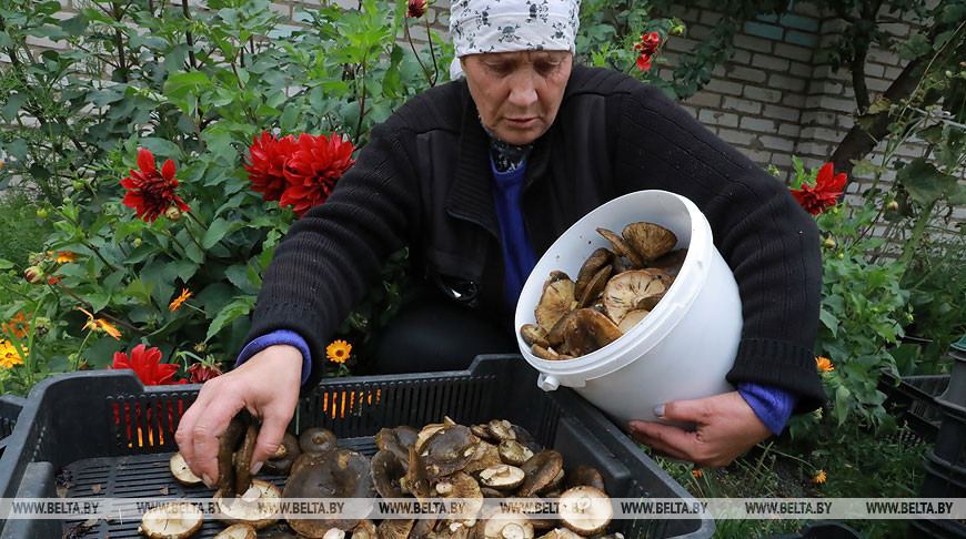 Заготовка грибов, яблок и черноплодной рябины идет в Кличевском райпо