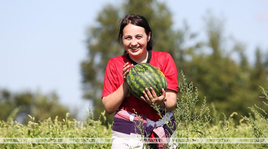 В Дрогичинском районе выращивают арбузы