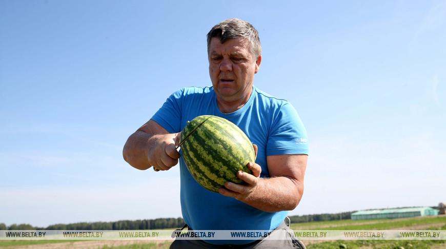 Фермер из Смолевичского района выращивает арбузы