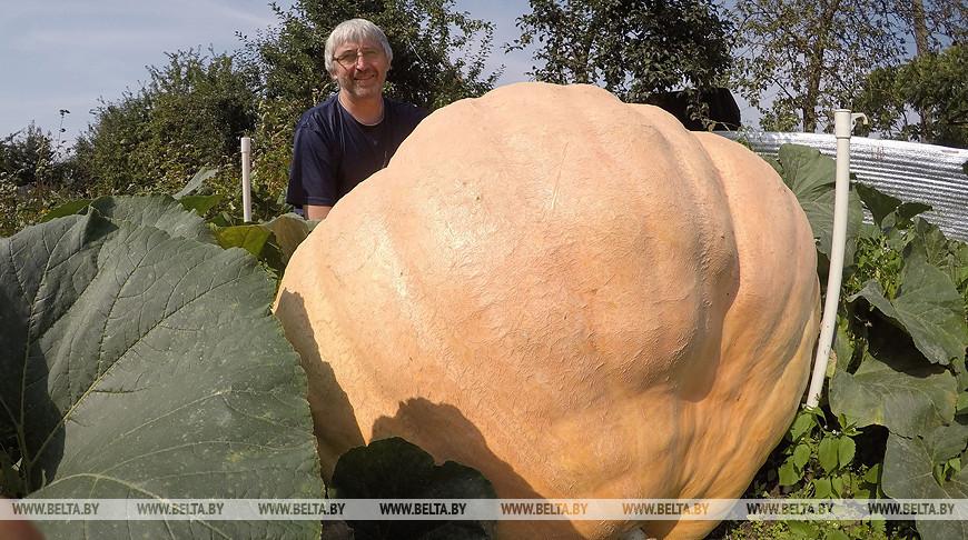 Гродненец вырастил тыкву весом более 400 кг на дачном участке - тыква продолжает расти