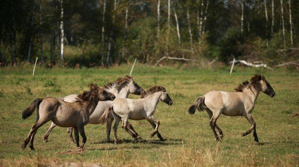 Дикие лошади в Налибокской пуще