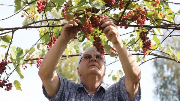 Около 170 сортов винограда выращивает пенсионер Валерий Помельников на дачном участке