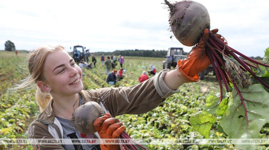 Студенческий отряд БРСМ ПГЭК оказывает помощь в уборке овощей