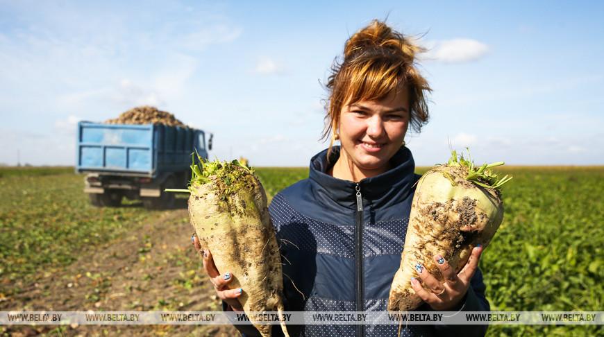 В Жабинковском районе идет уборка сахарной свеклы