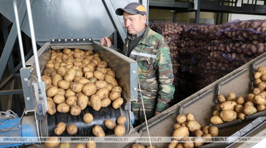Уборка картофеля идет в Толочинском районе