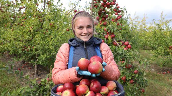 Около 3 тыс. т яблок и груш планируется собрать с плантаций Толочинского консервного завода