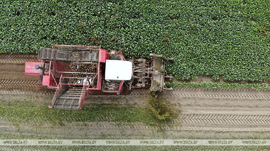 В Гродненской области убрано около 20% площадей сахарной свеклы