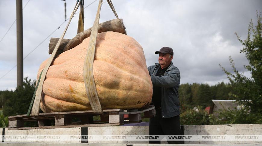 """Тыкву весом 450 кг выставят на обозрение в агротуристическом комплексе """"Коробчицы"""""""