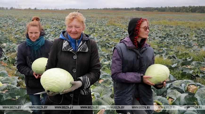 Выборочная уборка капусты идет в Могилевском районе