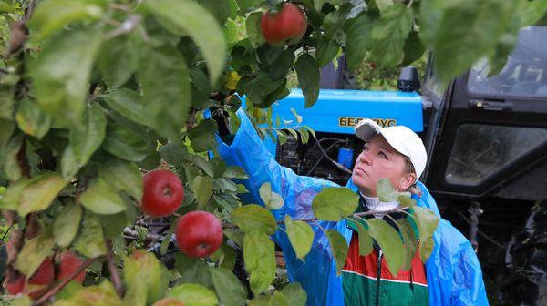 """Около 700 т яблок планируют собрать в СПК """"Колхоз """"Родина"""" Белыничского района"""