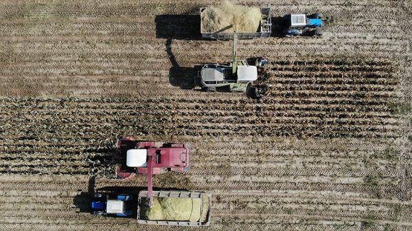 Хозяйства Гродненской области убрали почти половину площадей кукурузы на силос