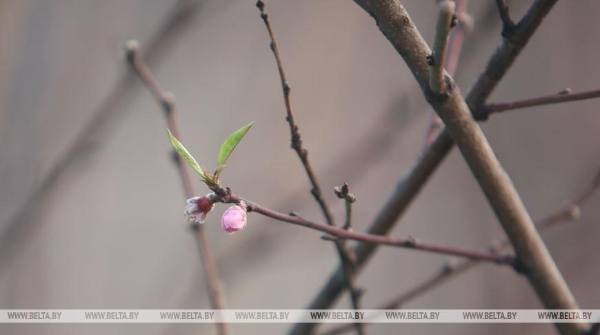 В Гомельской области зацвели персики