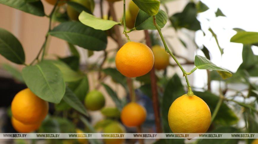 Жительница Лиозно выращивает мандарины