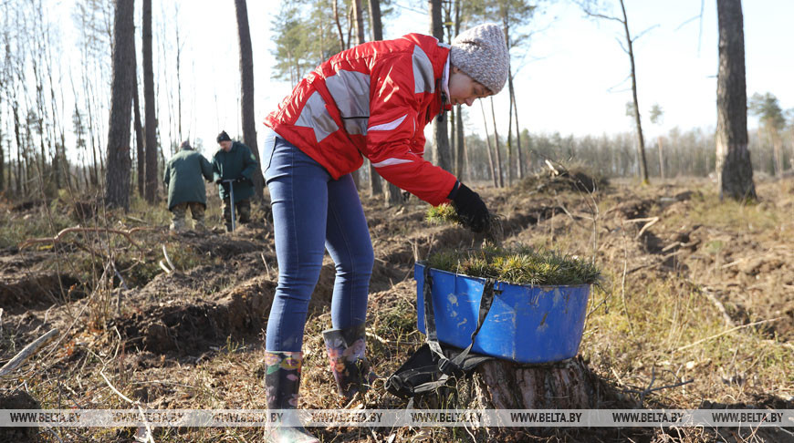В Брестском лесхозе планируют высадить весной 1,4 млн деревьев