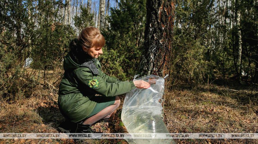 В Старобинском лесхозе заготавливают березовый сок