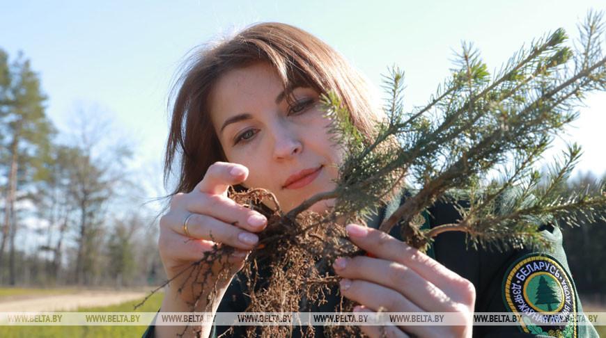 В Чаусском лесхозе садят лес и собирают березовый сок