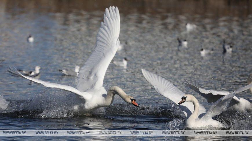 Стая лебедей поселилась на водоеме в Витебске