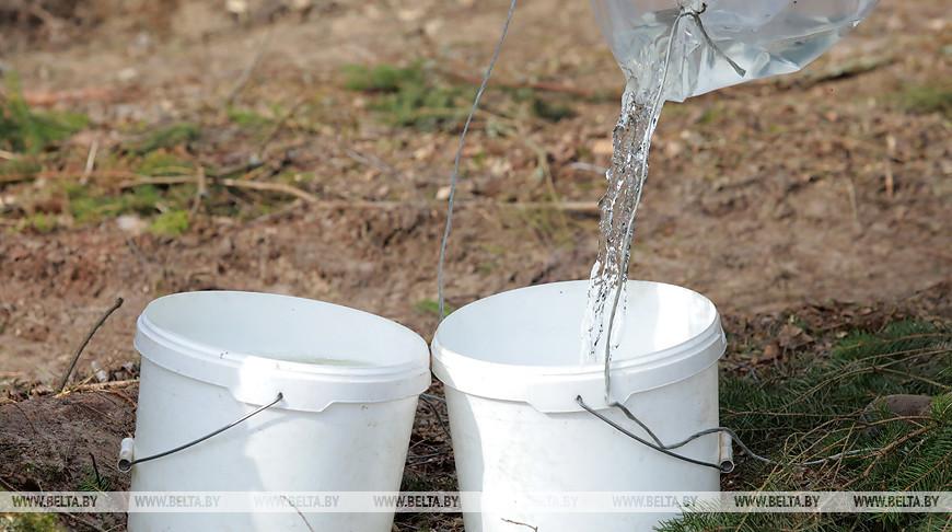 Ворониновское лесничество в этом году планирует собрать 34 т березового сока