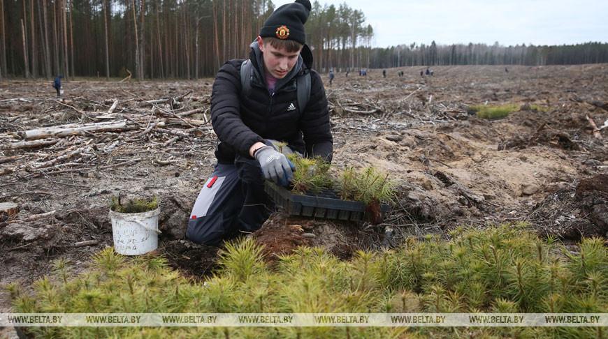 Студотряды высаживают деревья на месте лесного пожара под Гродно