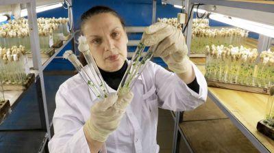 В БГСХА занимаются получением оздоровленного материала картофеля