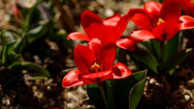 Тюльпаны зацвели в Ботаническом саду Минска на две недели раньше обычного