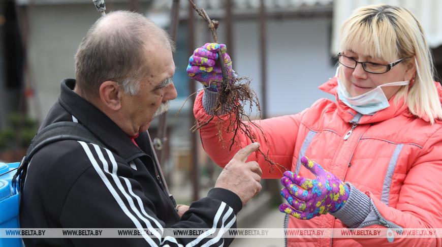Виноградари Гомельской области готовятся к посадке саженцев в грунт