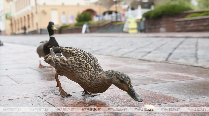 В Гродно по центру города гуляют дикие утки