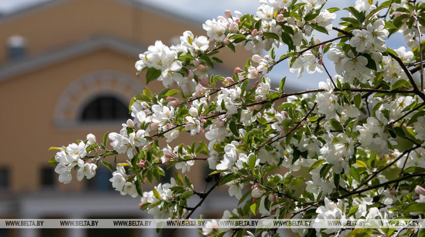 В Витебске цветут яблони