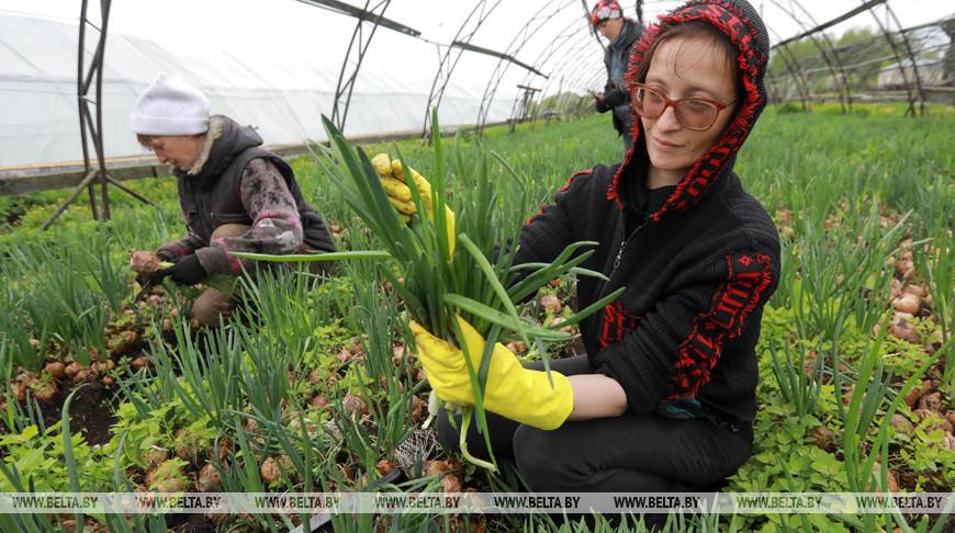 Урожай зеленого лука собирают в теплицах Могилевского района