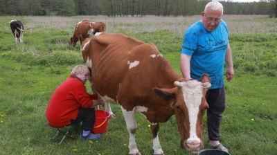 Более 50 коров содержат жители поселка Голынец Могилевского района