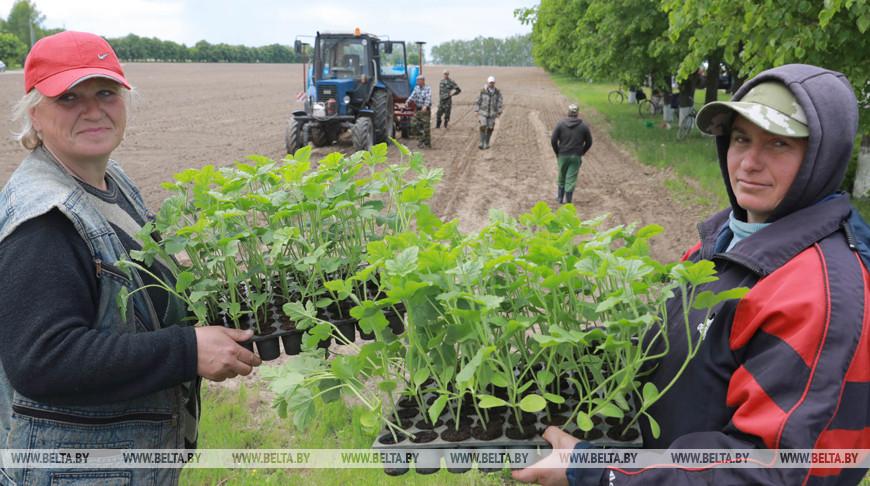 В Кировском районе высадили первые арбузы