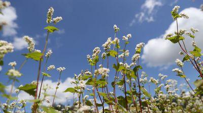 В сельхозорганизациях более чем в два раза увеличены посевные площади гречихи