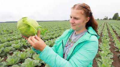 В Могилевском районе убирают капусту