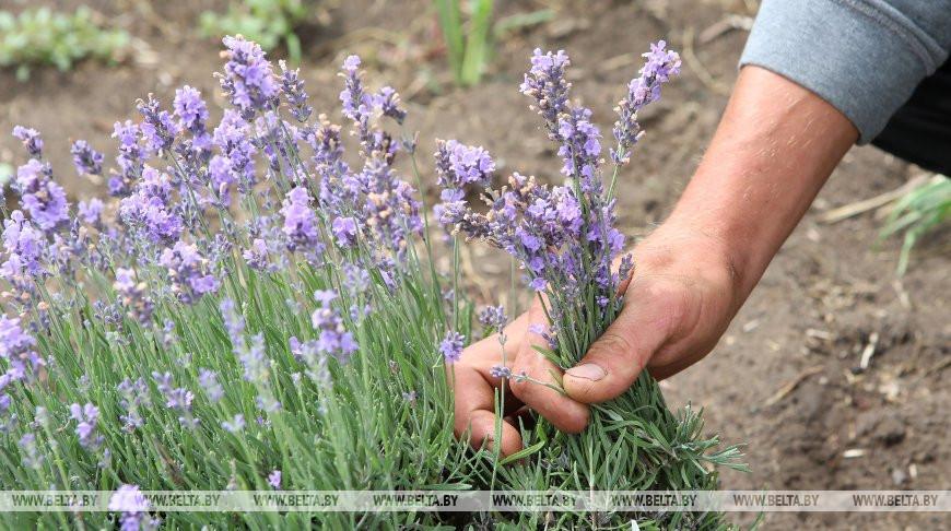Фермер Олег Добуляк выращивает лаванду в Ветковском районе