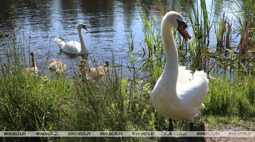 Лебеди на Старокрасненском озере в Речицком районе
