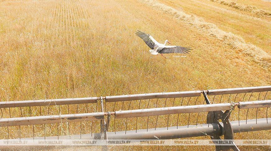 В Жабинковском районе приступили к уборке пшеницы